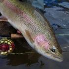 rio barrancoso rainbow trout