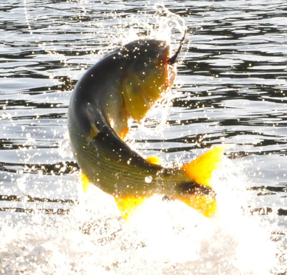 Golden Dorado Fly Fishing in Argentina