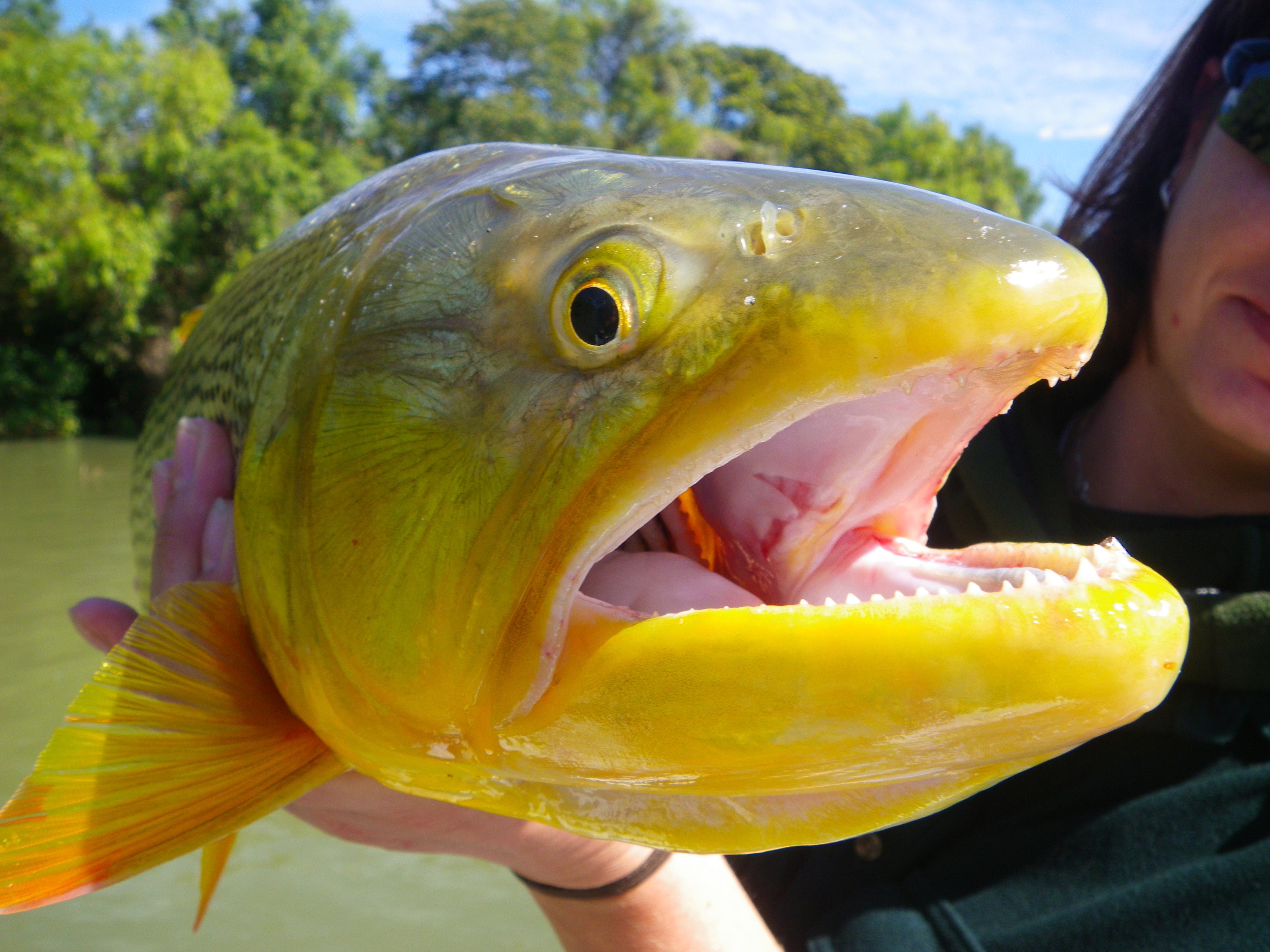 Pinti Dorado Fly Fishing Argentina