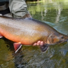 Huge Brook Trout