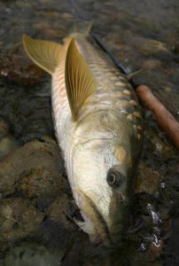 India Fly Fishing Mahseer