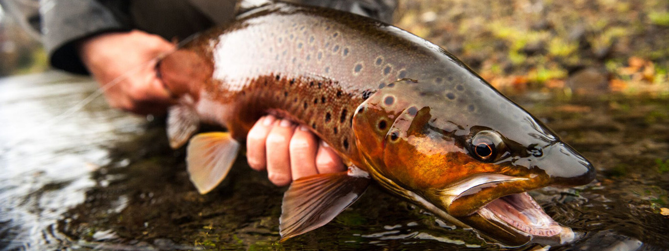 Northern Argentina Brown Trout Dry Fly