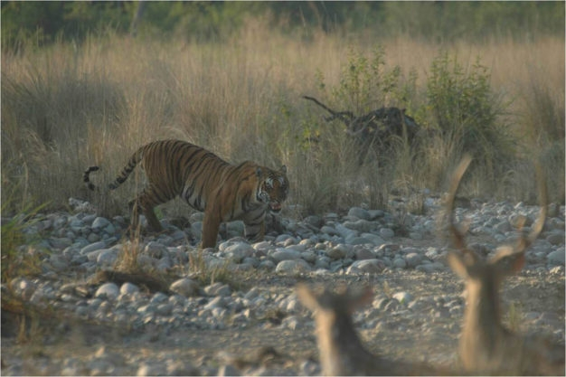 Tiger Viewing in India