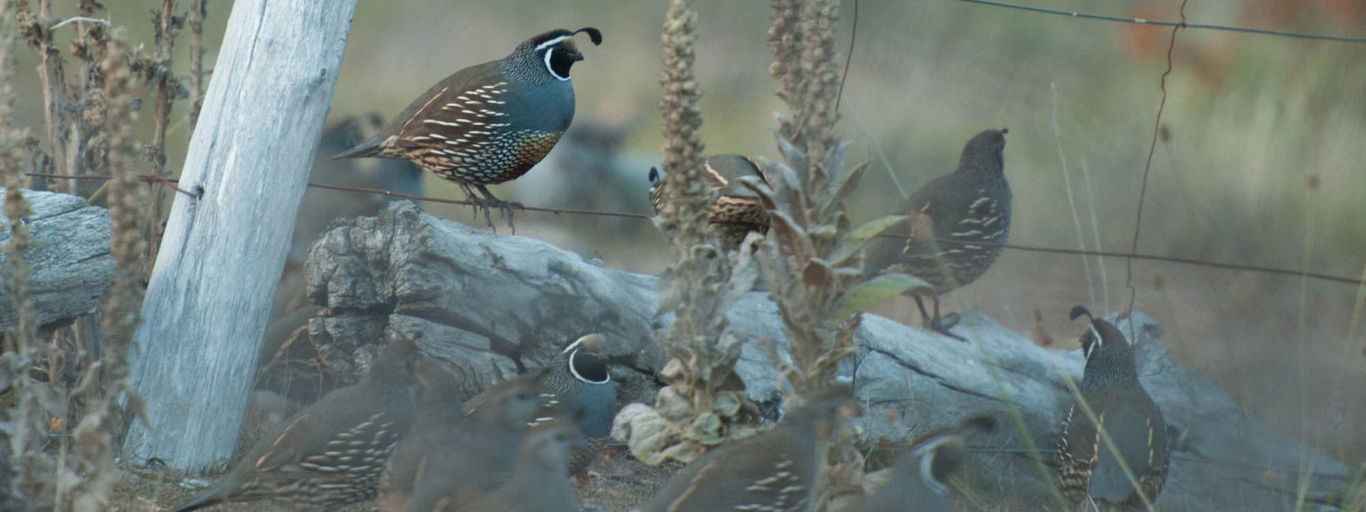 California Quail in Argentina hunting
