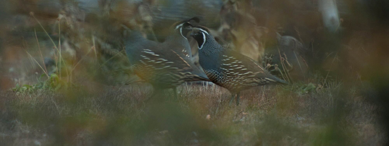 California Quail in Argentina