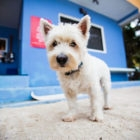 Palometa Club West highland terrier