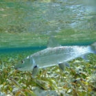 Turneffe Flats Bonefish
