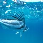 Big Roosterfish