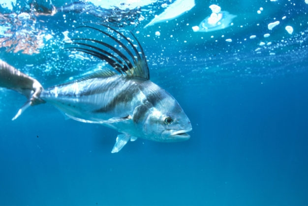 Roosterfish on the Fly