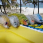 flies for rooster fish
