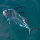 roosterfish photo baja