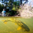 Dorado Fly Fishing Argentina