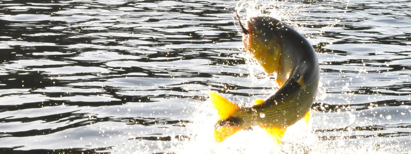 Golden Dorado Jump Pinti Argentina Parana