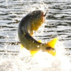 Pinti's Dorado on the Fly