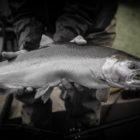 Aniak River Salmon
