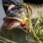 Fly Fishing for Pike in Alaska