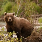 Bear Photography Alaska