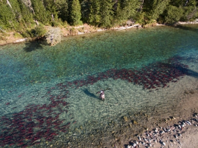 Sockeye salmon run Alaska