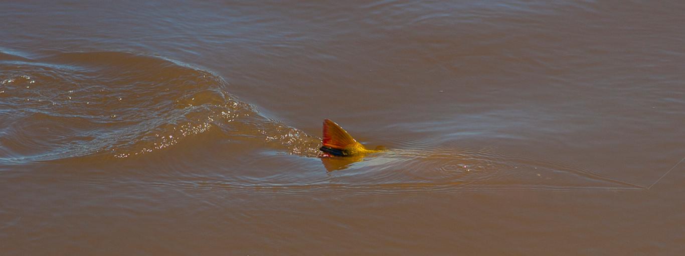topwater golden dorado