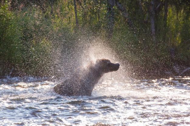 American Creek bears